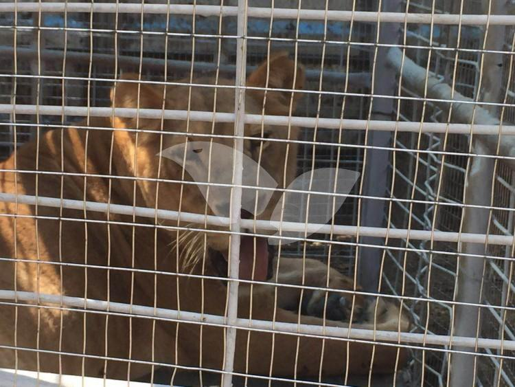 Sick lion rescued from Gaza Zoo,11.4.2016