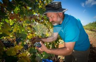 HaYovel Volunteer, Paul Docherty, Harvesting Grapes in Shiloh