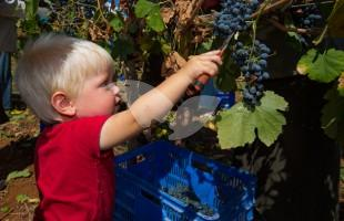 HaYovel's Youngest Volunteer Harvesting Grapes in Shiloh