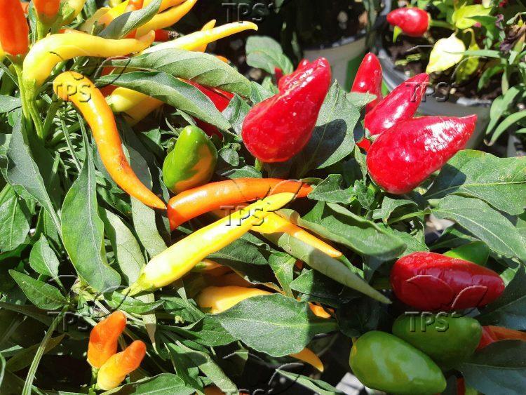 Pepper plants in Israel