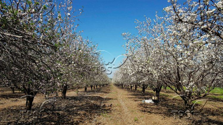 Almond trees blossom in Ayalon Valley